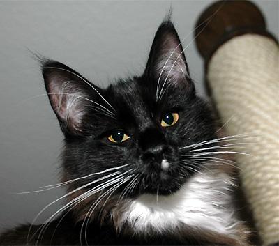 Sterrekatten's Nighty Noir
