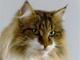 GIC Felidae v.Tim-Est